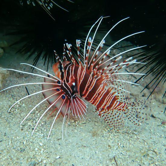 lionfish indonesie