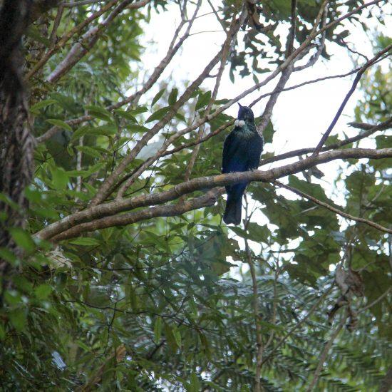 bellbird