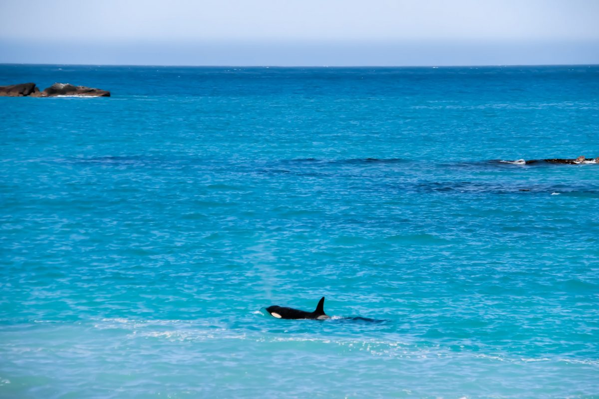 Orca Kaikoura