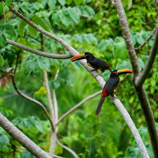 Toekans Costa Rica