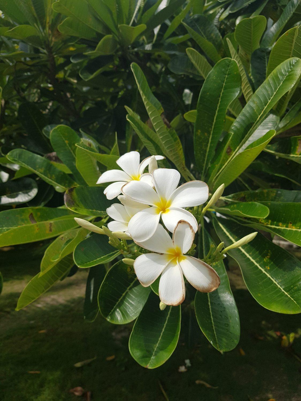 frangipani filipijnen